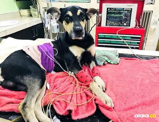 Brauny, canino que fue lanzado desde un estadio en Ecuador.   Tomada de: Twitter