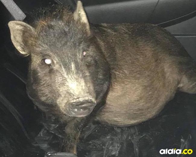 Cerdo señalado de acoso | Facebook