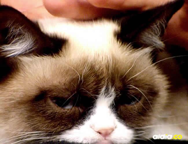 Se debe tener manos finas y cuidadosas para poder acariciar al felino durante varias horas | Cortesía