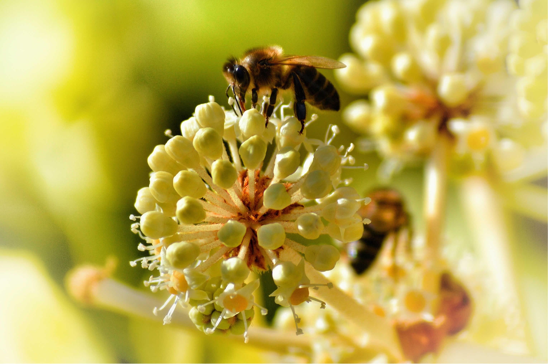 ¿Alguna vez mataste una abeja?  Aceleraste la extinción de la humanidad