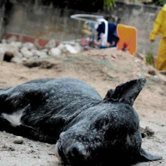 Uno de los tres perros que murió como consecuencia de las picaduras de las abejas africanizadas. | AL DÍA