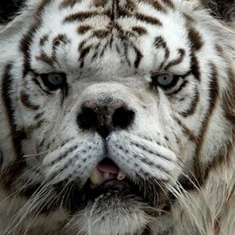 Este tigre llamado kenny tiene rasgos característicos de una trisomía | Upsocl