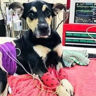 Brauny, canino que fue lanzado desde un estadio en Ecuador. | Tomada de: Twitter.