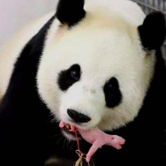 Su madre, Shin Shin, lo tenía cubierto con su pelaje | metroecuador.com