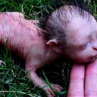 La criatura tenía una apariencia de cuerpo de felino, cabeza de bebé humano y colmillos de vampiro | Viral Thread