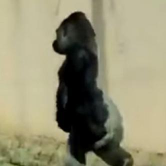 Louis, gorila que camina sobre dos patas I Captura Facebook