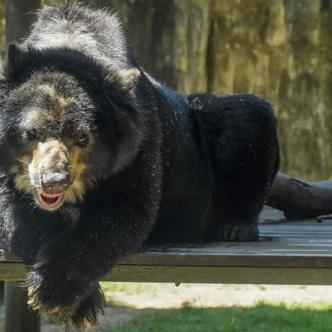 'Chucho', el oso de anteojos, es el nuevo presidente del Zoológico de Barranquilla. | Al Día