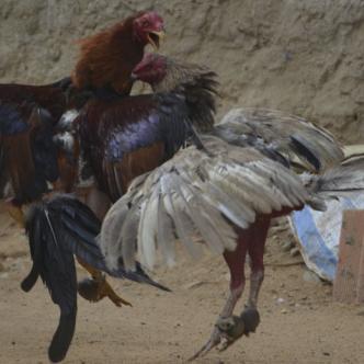 De acuerdo con Hennys Márquez,  al gallo le aplican una inyección de aire en el cerebro para aislarle este órgano de las demás funciones.