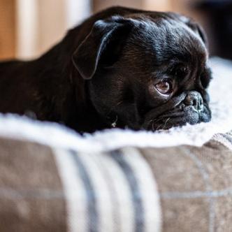 Edda, una perra de raza pug, confiscada por las deudas de sus amos | AFP